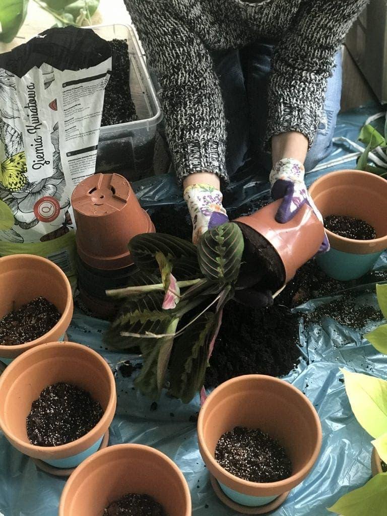przesadzanie roślin i kwiatów doniczkowych, a konkretniej maranty tricolor