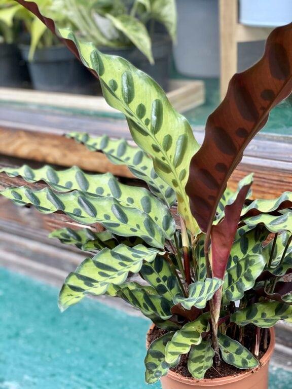 Zdjęcie rośliny Calathea Lancifolia ujęcie 1