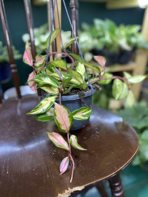 Zdjęcie rośliny Hoya Carnosa Tricolor ujęcie 1