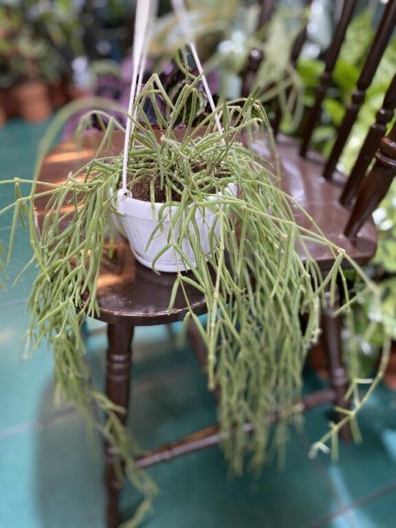 Zdjęcie rośliny Hoya linearis ujęcie 1