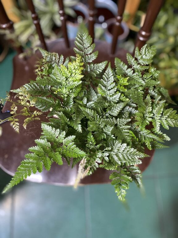 Zdjęcie rośliny Humata Tyermanii ujęcie 1
