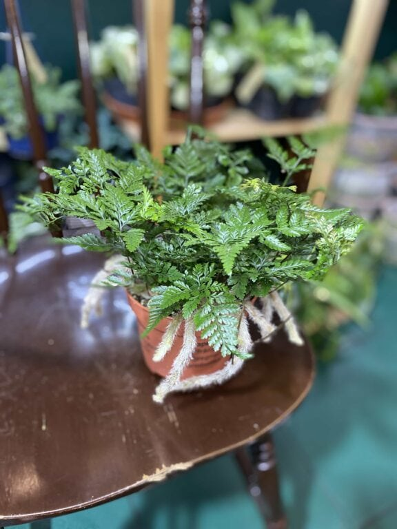 Zdjęcie rośliny Humata Tyermanii ujęcie 2