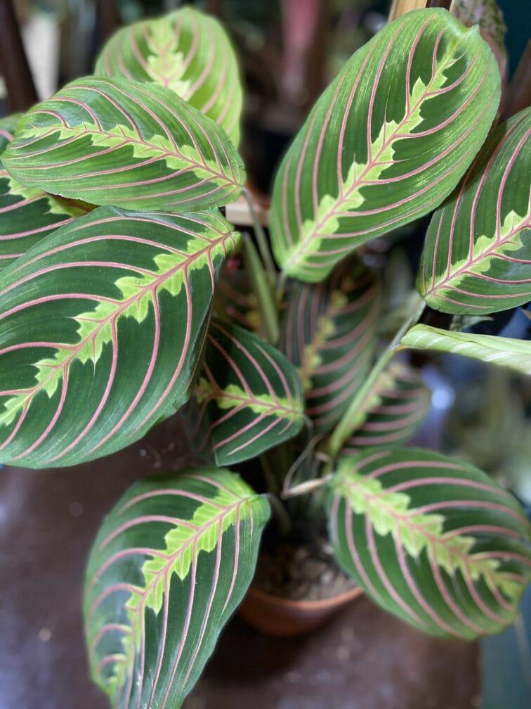 Zdjęcie rośliny Marantha Fascinator Tricolor ujęcie 4