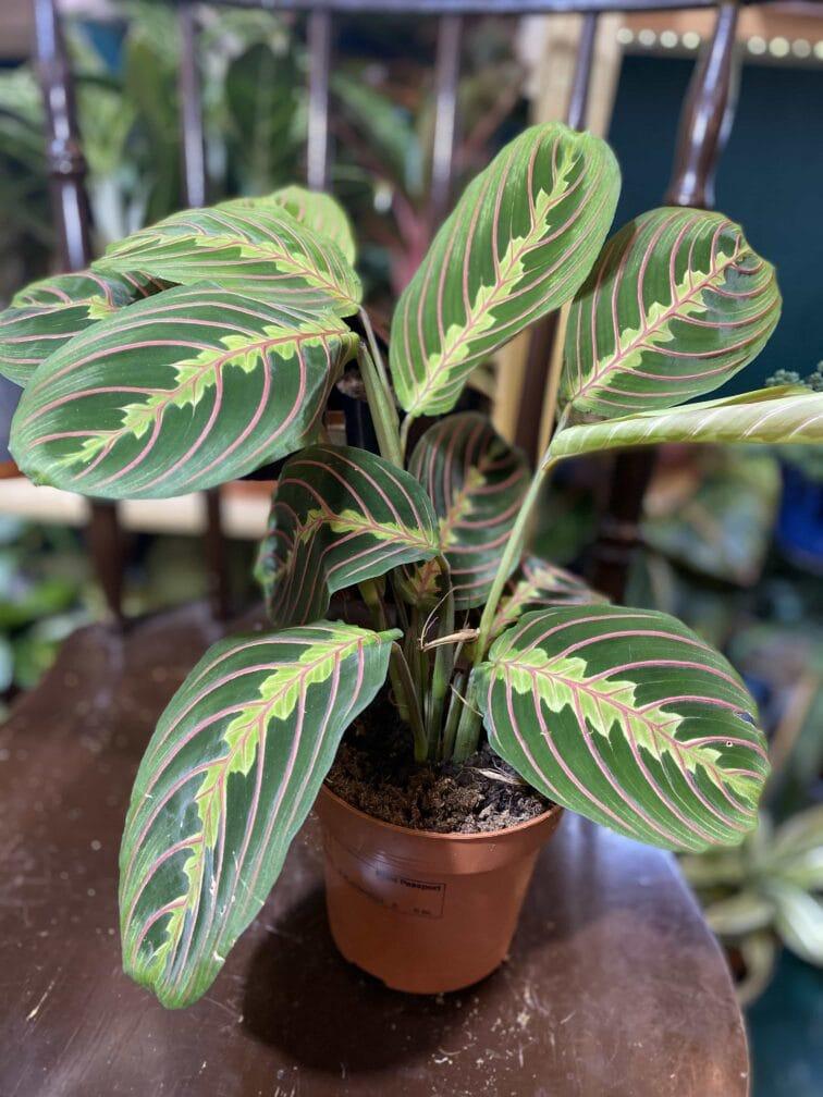 Zdjęcie rośliny Marantha Fascinator Tricolor ujęcie 6