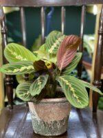 Zdjęcie rośliny Marantha Fascinator Tricolor ujęcie 1