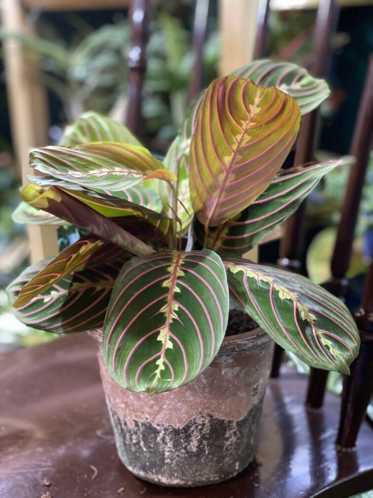 Zdjęcie rośliny Marantha Fascinator Tricolor ujęcie 3