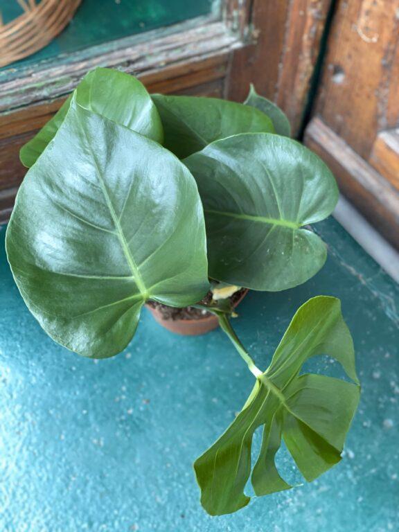 Zdjęcie rośliny Monstera Deliciosa ujęcie 2