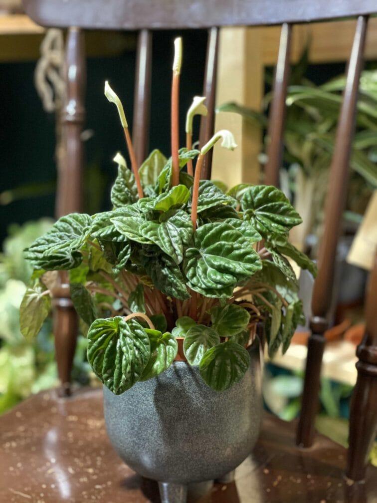 Zdjęcie rośliny Peperomia Caperata Lilian ujęcie 2