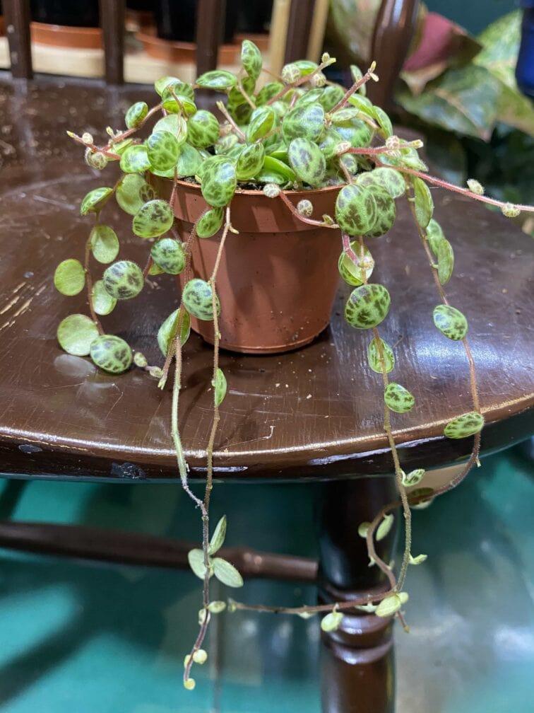 Zdjęcie rośliny Peperomia Prostrata ujęcie 1