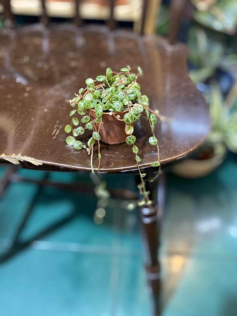 Zdjęcie rośliny Peperomia Prostrata ujęcie 3