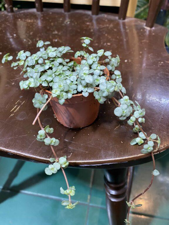 Zdjęcie rośliny Pilea Glaucophylla Greyzy ujęcie 1
