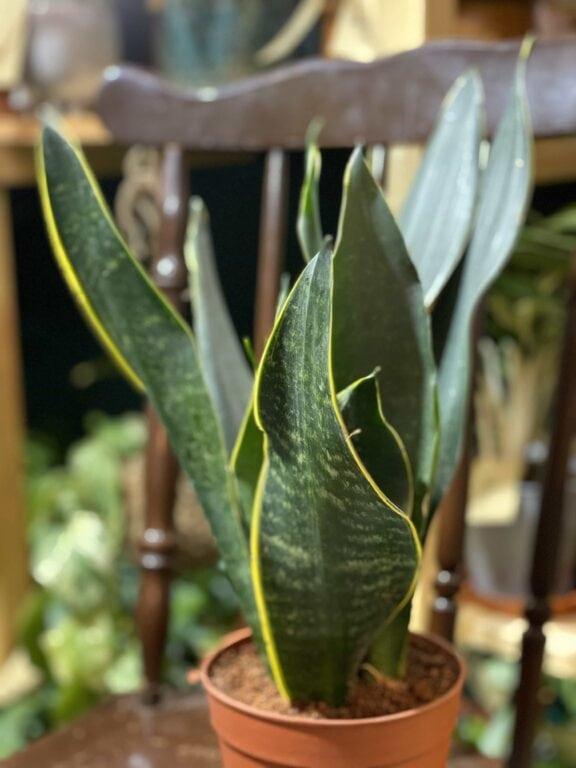 Zdjęcie rośliny Sansevieria Trifasciata Robusta ujęcie 2
