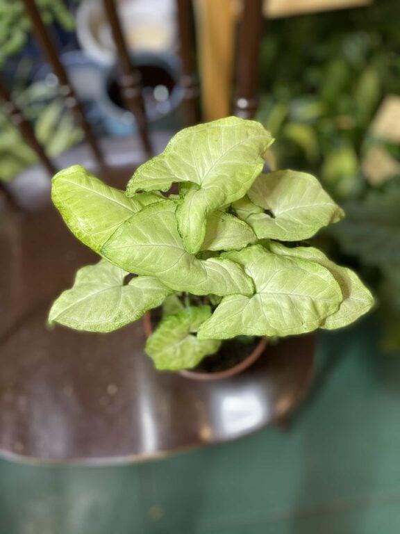 Zdjęcie rośliny Syngonium White Butterfly ujęcie 1