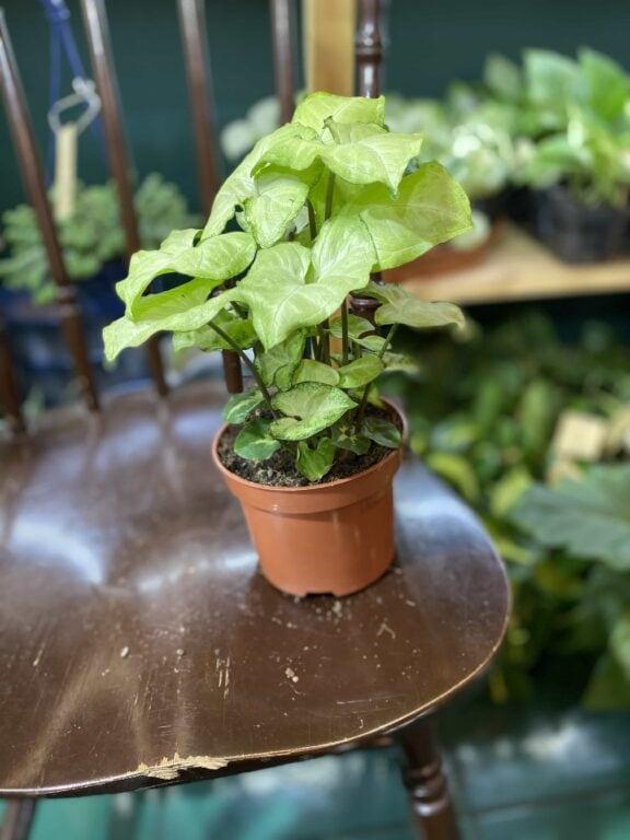 Zdjęcie rośliny Syngonium White Butterfly ujęcie 2
