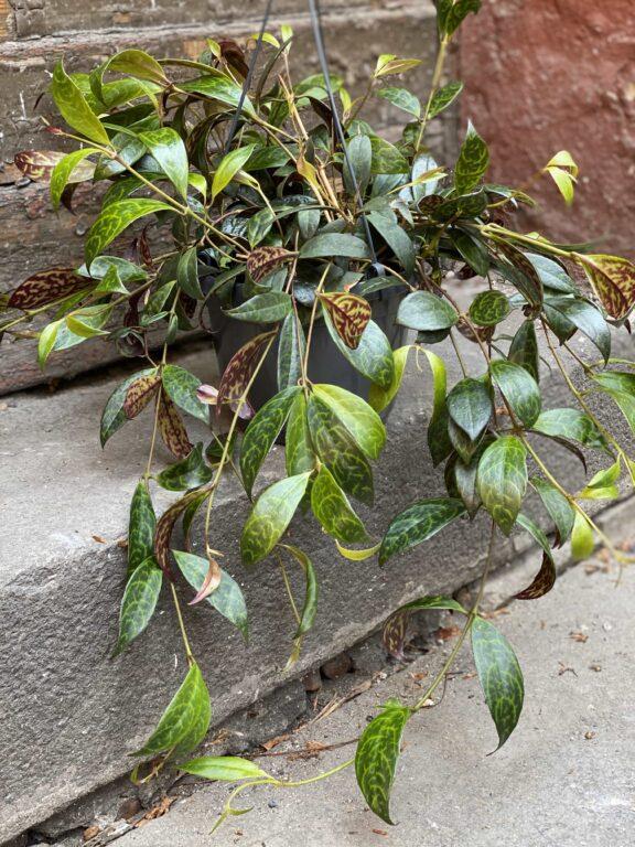 Zdjęcie Aeschynanthus Marmoratus (Marmurkowy) w kategorii rośliny, ujęcie 1
