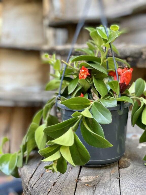 Zdjęcie Aeschynanthus Mona Lisa Red Lipstick w kategorii rośliny, ujęcie 1