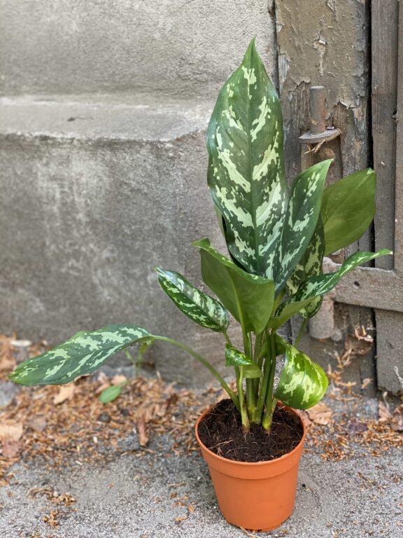 Zdjęcie Aglaonema Gemini w kategorii rośliny, ujęcie 1