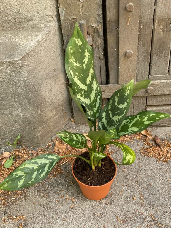 Zdjęcie Aglaonema Gemini w kategorii rośliny, ujęcie 2