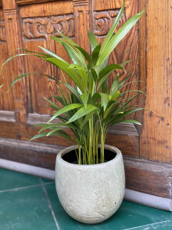 Zdjęcie Areca w kategorii rośliny, ujęcie 1