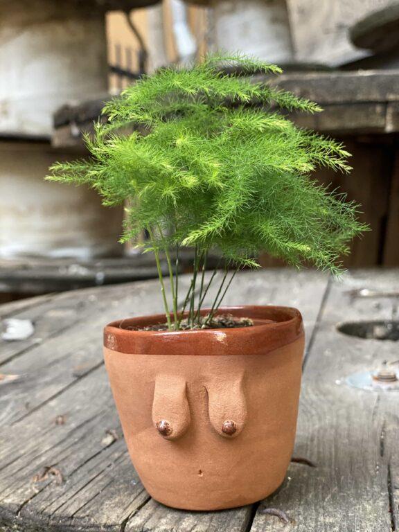 Zdjęcie Asparagus Plumosus w kategorii rośliny, ujęcie 1