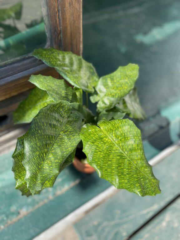 Zdjęcie Calathea Network (Mosaica) w kategorii rośliny, ujęcie 1