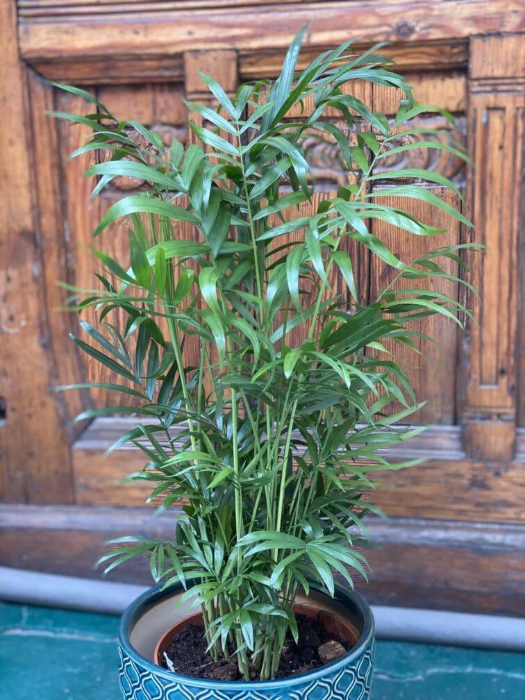 Zdjęcie Chamaedorea Elegans (Chemedora Wytworna) w kategorii rośliny, ujęcie 2