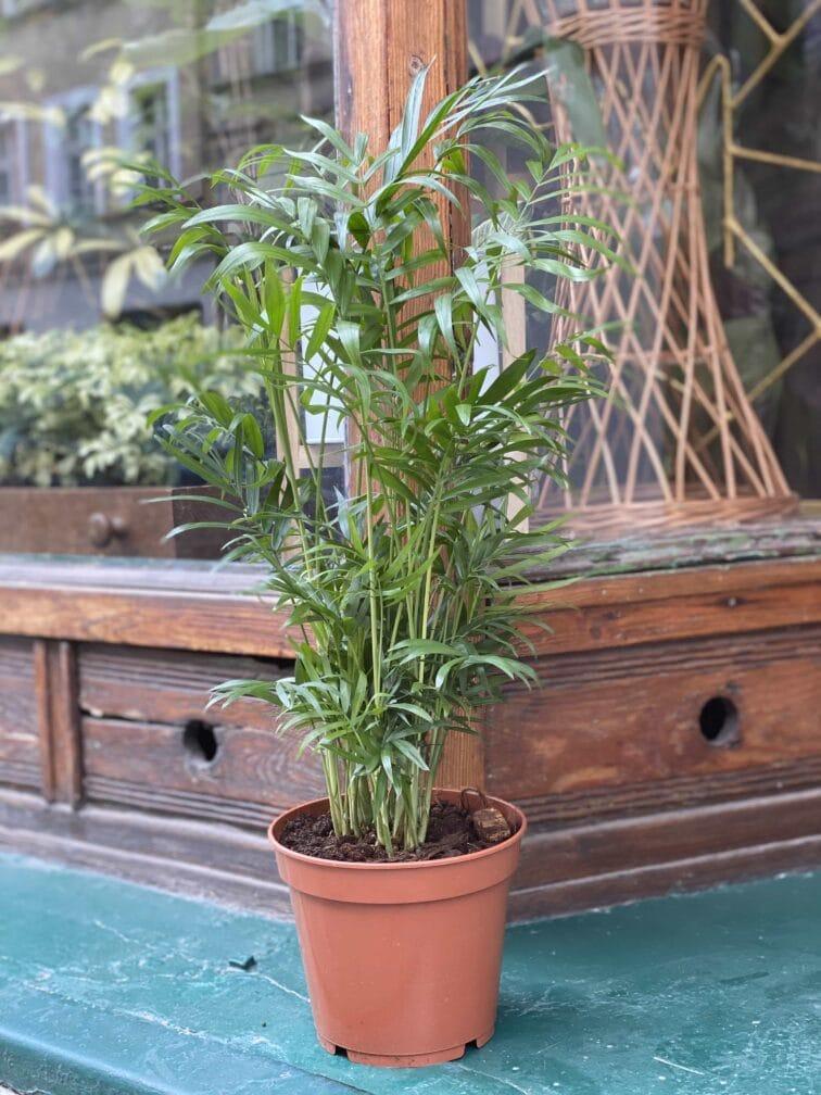 Zdjęcie Chamaedorea Elegans (Chemedora Wytworna) w kategorii rośliny, ujęcie 3