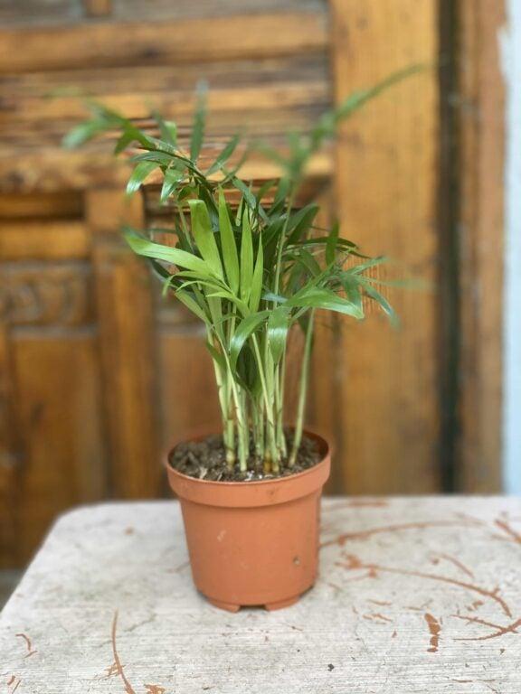 Zdjęcie Chamaedorea Elegans (Chemedora Wytworna) w kategorii rośliny, ujęcie 1