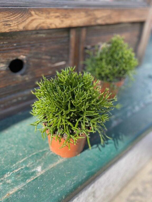 Zdjęcie Hatiora w kategorii rośliny, ujęcie 1