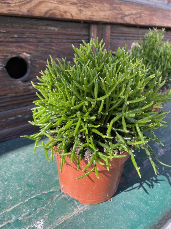 Zdjęcie Hatiora w kategorii rośliny, ujęcie 2