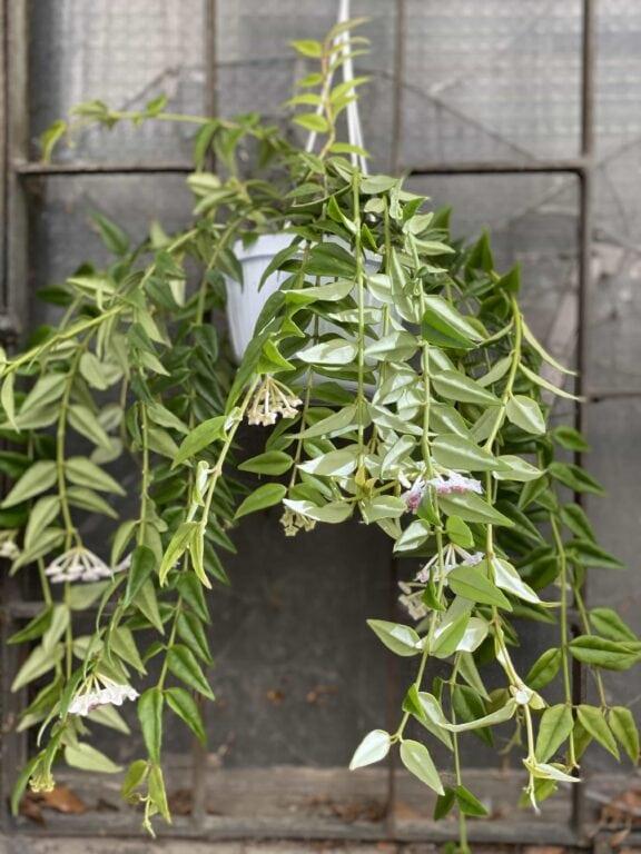 Zdjęcie Hoya Bella w kategorii rośliny, ujęcie 1