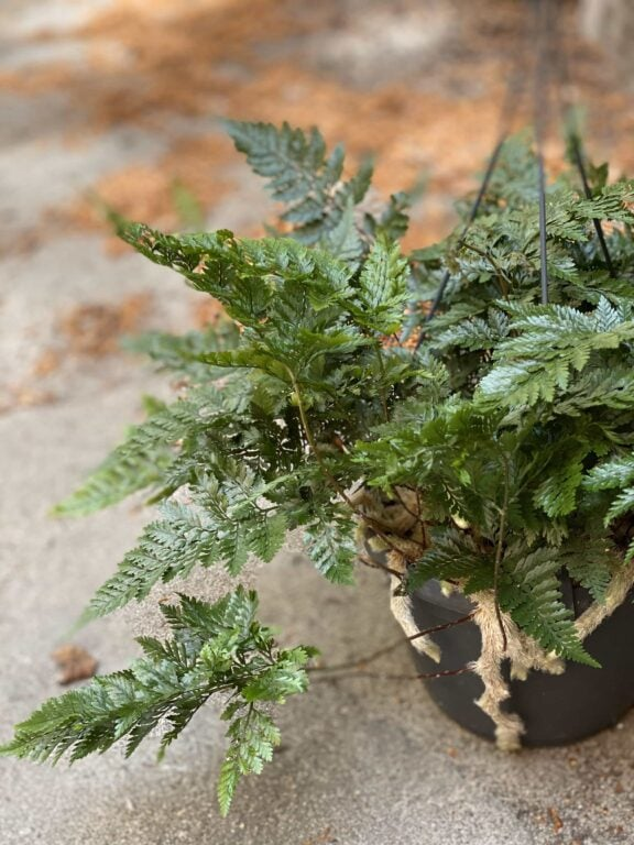 Zdjęcie Humata Tyermanii w kategorii rośliny, ujęcie 1