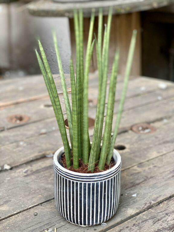 Zdjęcie Sansevieria Cylindrica w kategorii rośliny, ujęcie 1