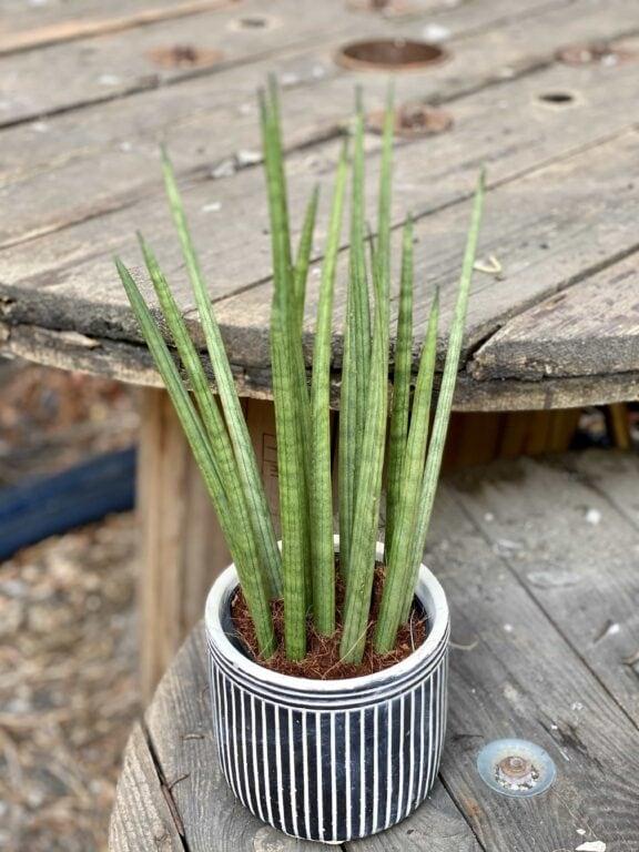 Zdjęcie Sansevieria Cylindrica w kategorii rośliny, ujęcie 2