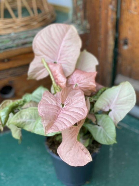 Zdjęcie Syngonium Neon Robusta w kategorii rośliny, ujęcie 1