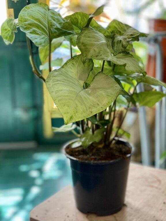 Zdjęcie Syngonium White Butterfly w kategorii rośliny, ujęcie 1