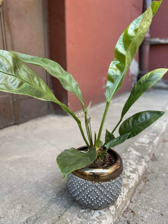 Zdjęcie Anthurium Elipticum Jungle King w kategorii rośliny, ujęcie 1
