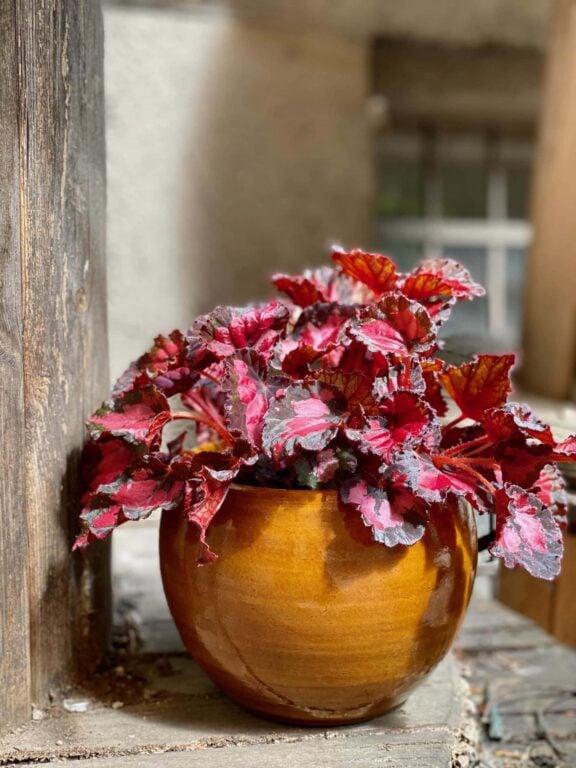 Zdjęcie Begonia Inca Night w kategorii rośliny, ujęcie 1