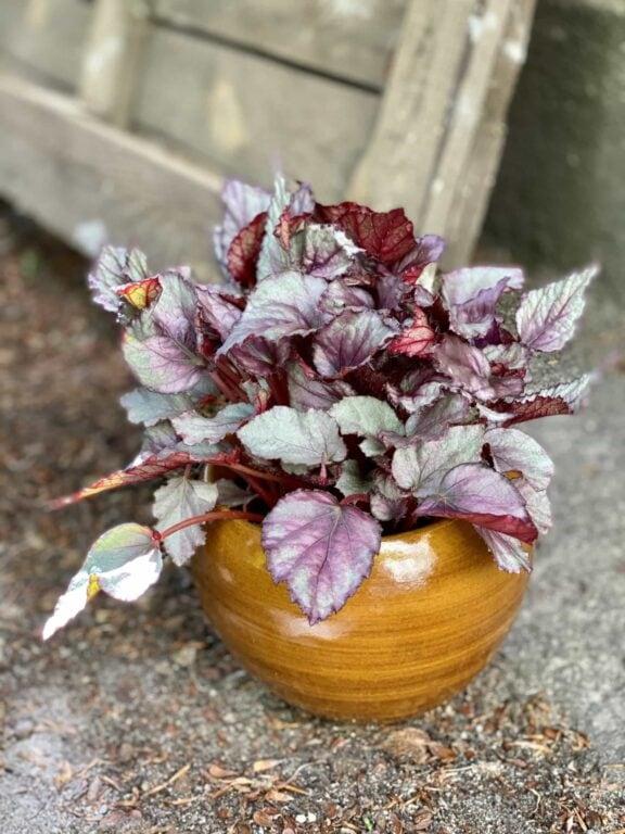 Zdjęcie Begonia Maori Haze w kategorii rośliny, ujęcie 1