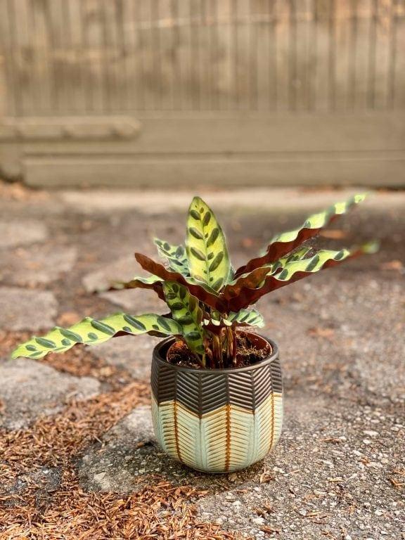 Zdjęcie Calathea Lancifolia w kategorii rośliny, ujęcie 1