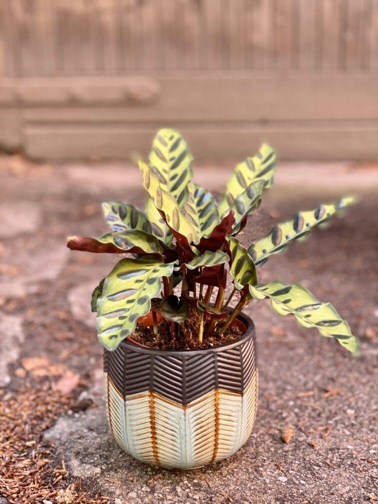 Zdjęcie Calathea Lancifolia w kategorii rośliny, ujęcie 3