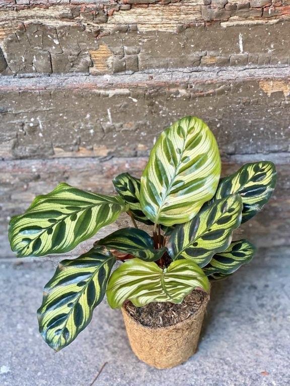 Zdjęcie Calathea Makoyana w kategorii rośliny, ujęcie 1