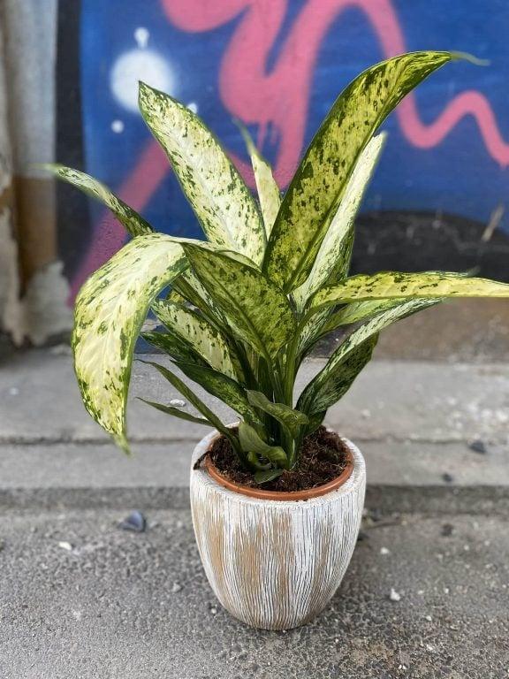 Zdjęcie Diffenbachia Vesuvii w kategorii rośliny, ujęcie 1
