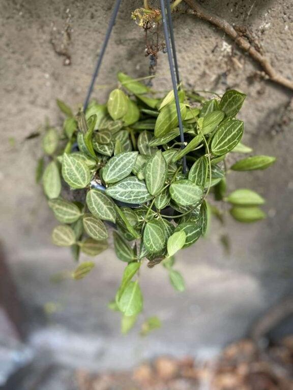 Zdjęcie Dischidia ovata w kategorii rośliny, ujęcie 1