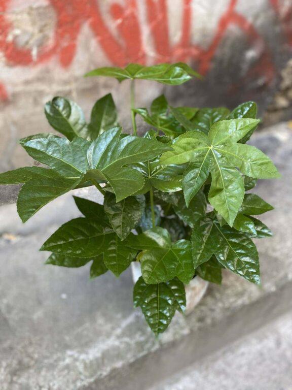 Zdjęcie Fatsia japonica w kategorii rośliny, ujęcie 1