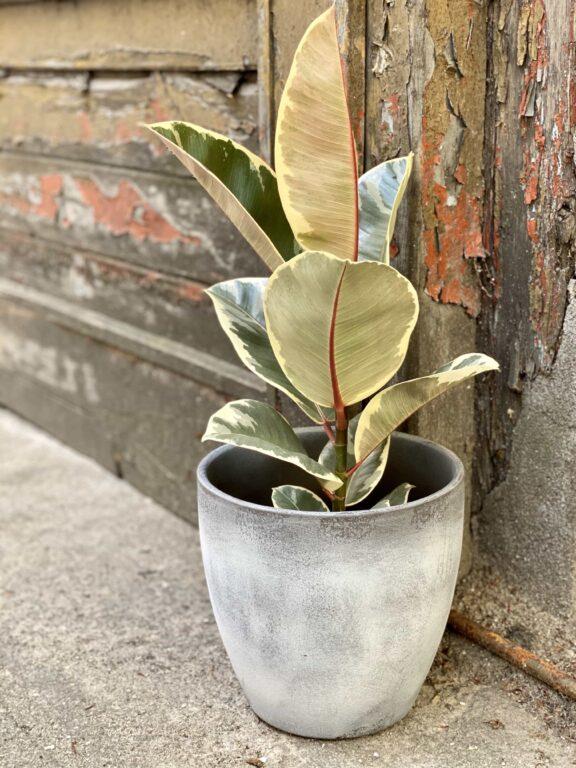 Zdjęcie Ficus Elastica Tineke w kategorii rośliny, ujęcie 1