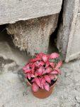 Zdjęcie Fittonia Forest Flame w kategorii rośliny, ujęcie 1