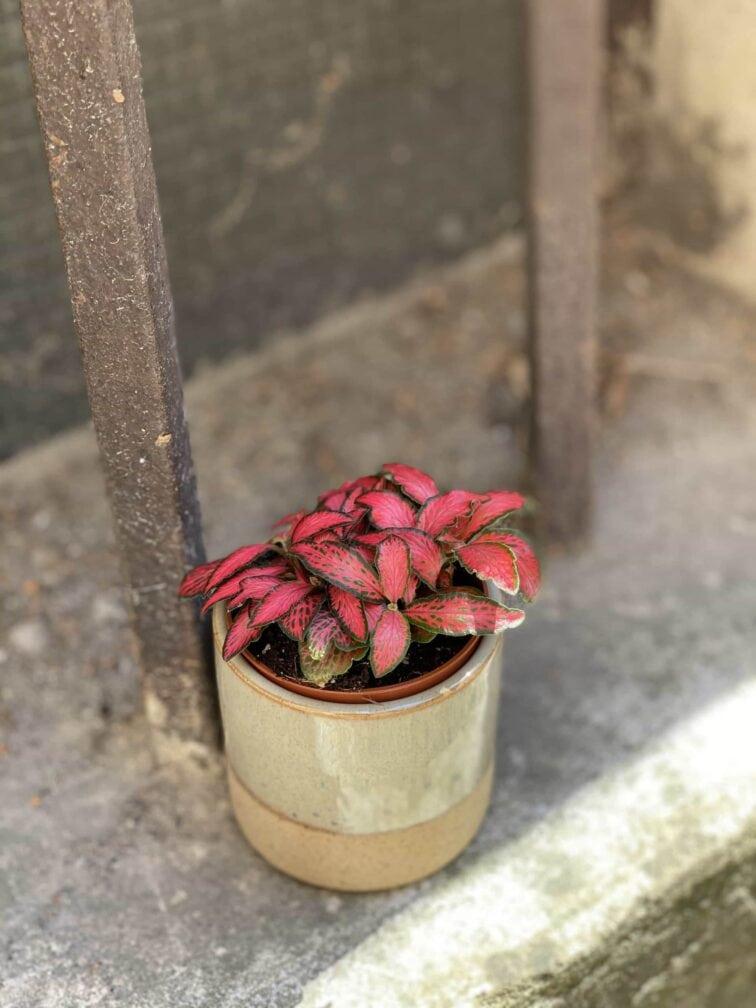 Zdjęcie Fittonia Forest Flame w kategorii rośliny, ujęcie 3