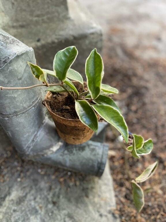 Zdjęcie Hoya carnosa albomarginata w kategorii rośliny, ujęcie 1