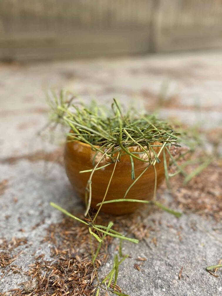 Zdjęcie Hoya retusa w kategorii rośliny, ujęcie 1